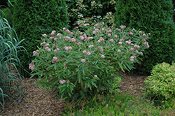Cinderella Milkweed (Asclepias incarnata 'Cinderella') at Minor's Garden Center