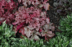 Carnival Peach Parfait Coral Bells (Heuchera 'Peach Parfait') at Minor's Garden Center