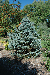 Avatar Blue Spruce (Picea pungens 'Avatar') at Minor's Garden Center