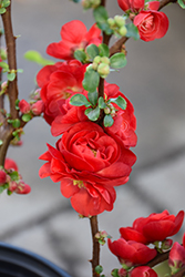 Double Take Scarlet Storm Flowering Quince (Chaenomeles speciosa 'Double Take Scarlet Storm') at Minor's Garden Center