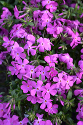 Paparazzi® Britney Phlox (Phlox 'PPPHL0604') at Minor's Garden Center