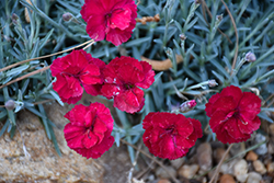 Frosty Fire Pinks (Dianthus 'Frosty Fire') at Minor's Garden Center