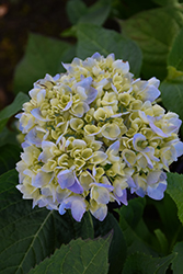 Nantucket Blue Hydrangea (Hydrangea macrophylla 'Grenan') at Minor's Garden Center