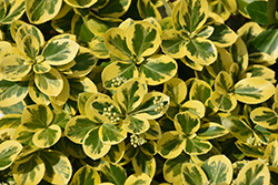 Gold Splash Wintercreeper (Euonymus fortunei 'Roemertwo') at Minor's Garden Center