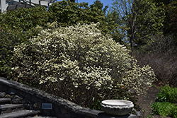 Dwarf Fothergilla (Fothergilla gardenii) at Minor's Garden Center
