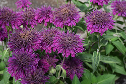 Purple Rooster Bee Balm (Monarda 'Purple Rooster') at Minor's Garden Center