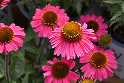 Sensation Pink Coneflower (Echinacea 'Sensation Pink') at Minor's Garden Center