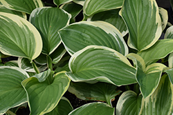 Royal Wedding Hosta (Hosta 'Royal Wedding') at Minor's Garden Center