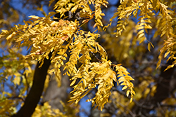 Shademaster Honeylocust (Gleditsia triacanthos 'Shademaster') at Minor's Garden Center