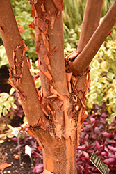 Paperbark Maple (Acer griseum) at Minor's Garden Center