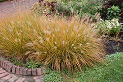 Hameln Dwarf Fountain Grass (Pennisetum alopecuroides 'Hameln') at Minor's Garden Center