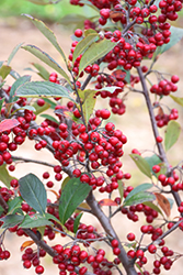 Brilliantissima Red Chokeberry (Aronia arbutifolia 'Brilliantissima') at Minor's Garden Center