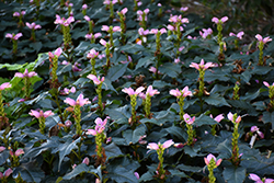 Hot Lips Turtlehead (Chelone lyonii 'Hot Lips') at Minor's Garden Center