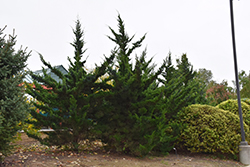 Canaertii Redcedar (Juniperus virginiana 'Canaertii') at Minor's Garden Center