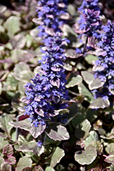 Burgundy Glow Bugleweed (Ajuga reptans 'Burgundy Glow') at Minor's Garden Center