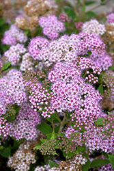 Little Princess Spirea (Spiraea japonica 'Little Princess') at Minor's Garden Center