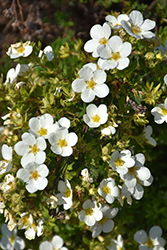 McKay's White Potentilla (Potentilla fruticosa 'McKay's White') at Minor's Garden Center