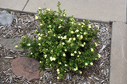 Lemon Meringue™ Potentilla (Potentilla fruticosa 'Bailmeringue') at Minor's Garden Center