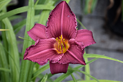 Summer Wine Daylily (Hemerocallis 'Summer Wine') at Minor's Garden Center
