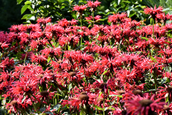 Gardenview Scarlet Beebalm (Monarda 'Gardenview Scarlet') at Minor's Garden Center