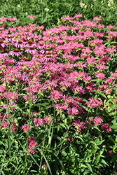 Coral Reef Bee Balm (Monarda didyma 'Coral Reef') at Minor's Garden Center