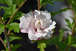 French Cabaret Blush Rose of Sharon (Hibiscus syriacus 'Mindoub 1') at Minor's Garden Center