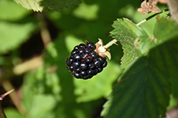 Jewel Black Raspberry (Rubus occidentalis 'Jewel') at Minor's Garden Center