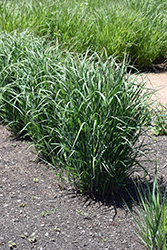 Apache Rose Switch Grass (Panicum virgatum 'Apache Rose') at Minor's Garden Center
