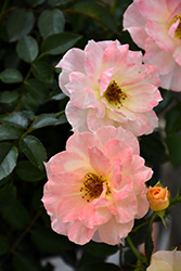 Oso Easy® Italian Ice® Rose (Rosa 'Chewnicebell') at Minor's Garden Center