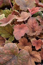 Pumpkin Spice Foamy Bells (Heucherella 'Pumpkin Spice') at Minor's Garden Center