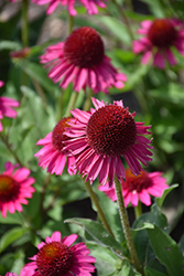 Delicious Candy Coneflower (Echinacea 'Delicious Candy') at Minor's Garden Center
