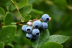 Northcountry Blueberry (Vaccinium 'Northcountry') at Minor's Garden Center