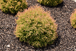 Fire Chief Arborvitae (Thuja occidentalis 'Congabe') at Minor's Garden Center