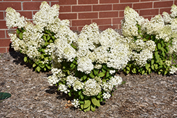 Bobo Hydrangea (Hydrangea paniculata 'ILVOBO') at Minor's Garden Center