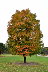 Sugar Maple (Acer saccharum) at Minor's Garden Center