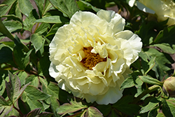 High Noon Tree Peony (Paeonia suffruticosa 'High Noon') at Minor's Garden Center