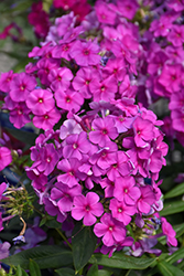 Flame™ Purple Dwarf Garden Phlox (Phlox paniculata 'Purple Flame') at Minor's Garden Center