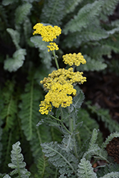 Sassy Summer Silver Yarrow (Achillea 'Sassy Summer Silver') at Minor's Garden Center