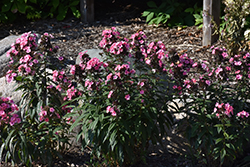 First Editions® Coral Creme Drop™ Garden Phlox (Phlox paniculata 'Ditomdre') at Minor's Garden Center